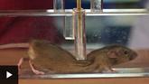 ¿Cómo logran doblarse los ratones para pasar por huecos muy pequeños?