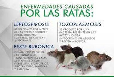 ratas.jpg