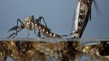 Fabrican insectos transgénicos contra el zika