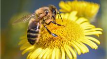 Buscan salvar las abejas de Colombia con proyecto de ley