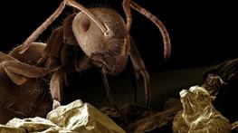 Las hormigas usan feromonas para coordinarse