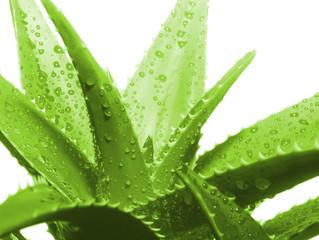 Beneficios del Aloe Vera o sábila
