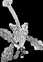 Dient de Leó, Taraxacum, Dandelion