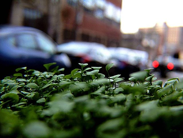 Even within the city little green giants can grow _Petite grands pousser___#Brooklyn_#photography_#l