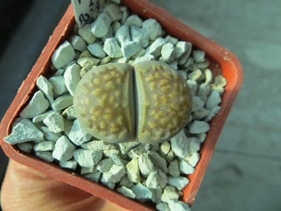 Lithops hallii C 375  MG 1605.4