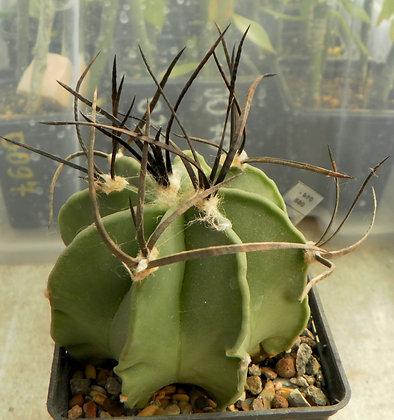 Astrophytum crassispinum `SOCCORO`