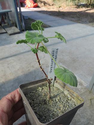 Pelargonium worcesterae