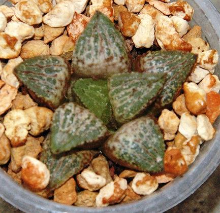 Haworthia hybrid 186.18-17