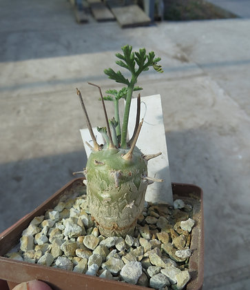 Pelargonium carnosum z Ekstenfort 2