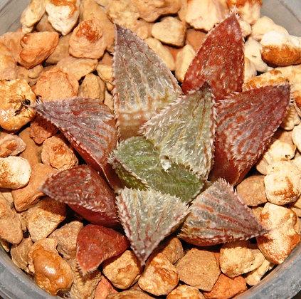 Haworthia hybrid 185.3-17