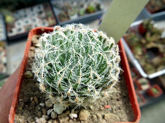 Haworthia arachnoidea ЮАР №11