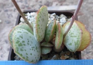 Adromischus shuldtianus SH 473