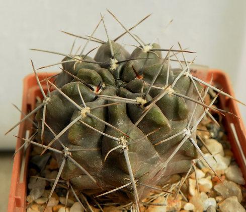 Gymnocalycium gibbosum ferox