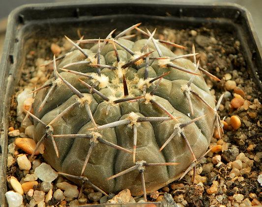 Gymnocalycium riojense paucispinum VG-347a La Guardia
