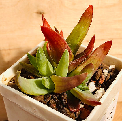 Aloe bulbilifera v. pauliana