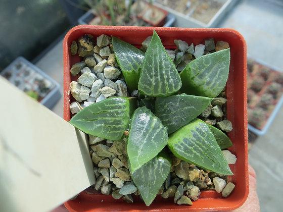 Haworthia comptoniana №4