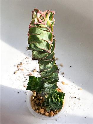Crassula perforata f. variegata
