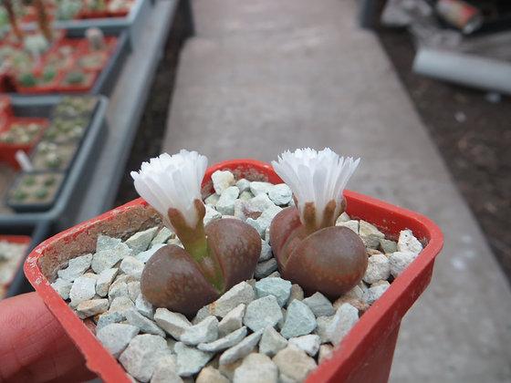 Optalmophyllum verrucosum