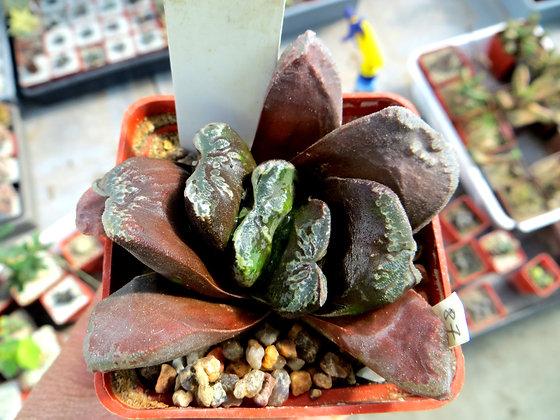 Haworthia japanese hybrids №87