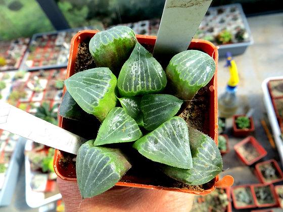 Haworthia hybrids №9