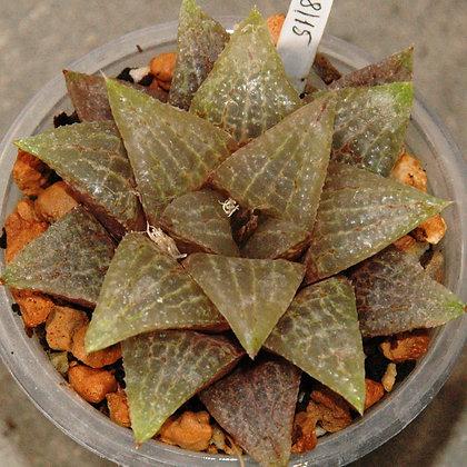 Haworthia hybrid