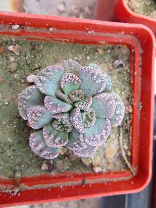 Titanopsis calcarea MG 1870.152