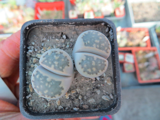 Lithops hallii 1596.9 MG