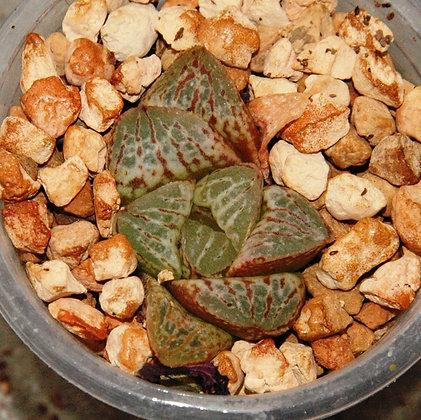 Haworthia hybrid 186.13-17