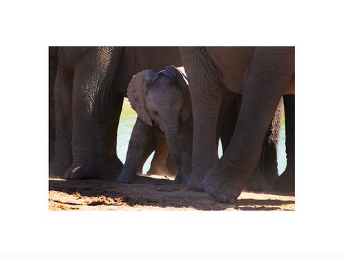 Elephant II; young generation series