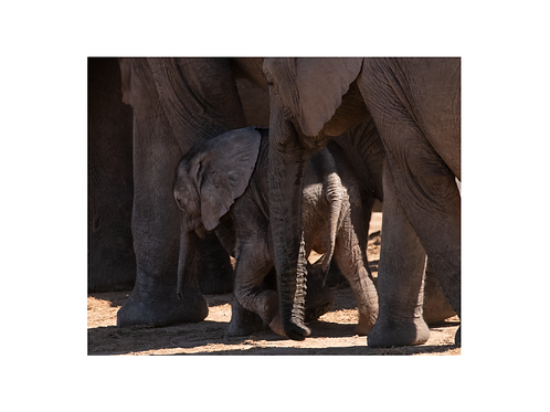 Elephant I; young generation series