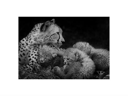 Cheetah, young generation series
