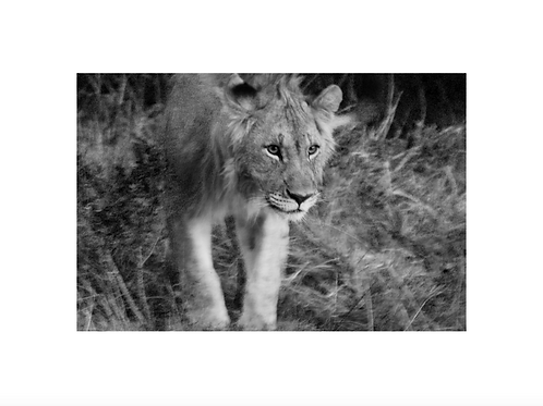 Lioness II, young generation series
