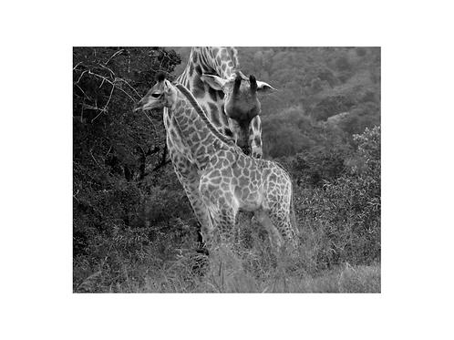 Giraffe, young generation series