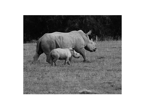 Rhino, young generation series