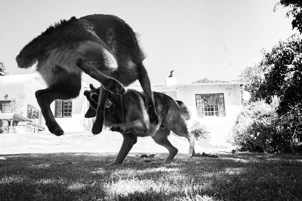 Margot Muir_Reflections of two german shepherds-0849.jpg