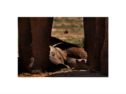 Baby elephant sleeping, young generation series