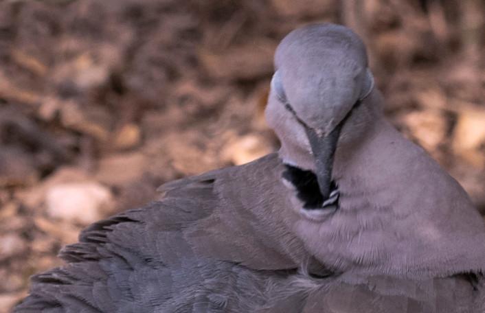 A_Turtle dove_DSC_1486.jpg