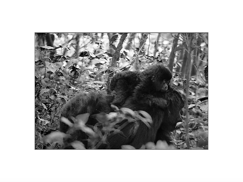 Gorilla, young generation series