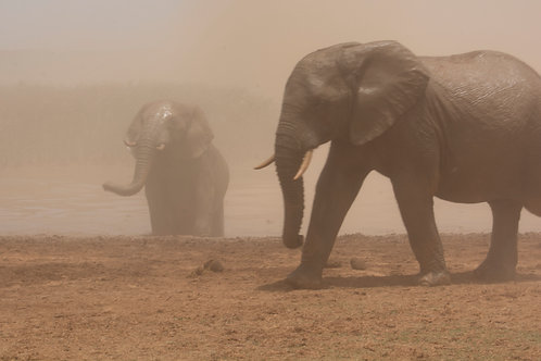 Elephant in a duststorm