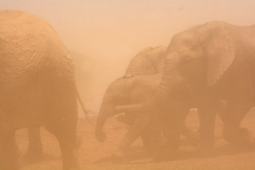 Elephant running from a dust storm