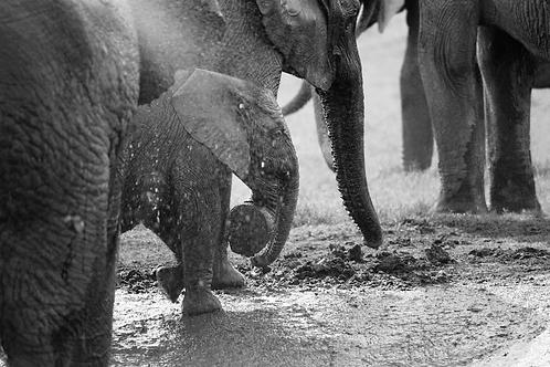 Elephant I