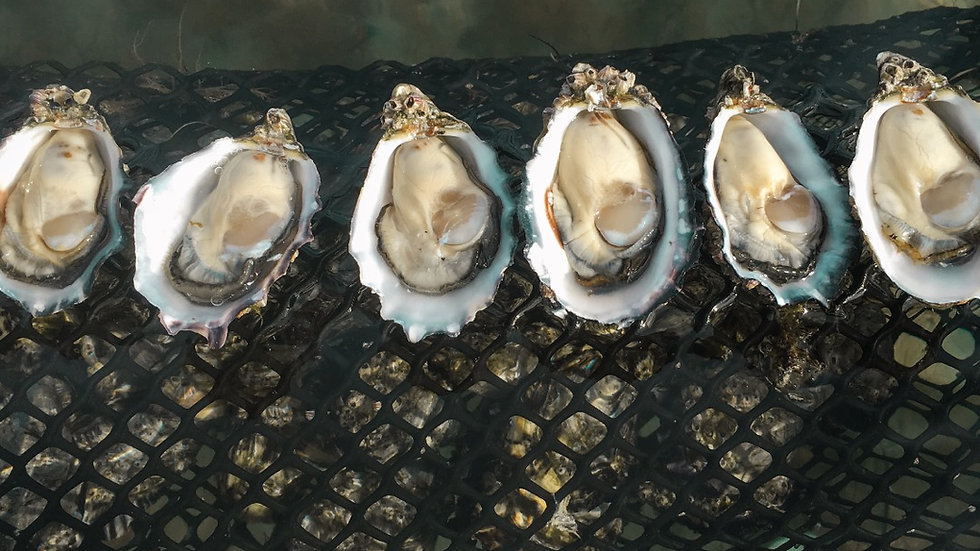 Coffin Bay Oysters Proserpine collection 5 Dozen Bag - $75