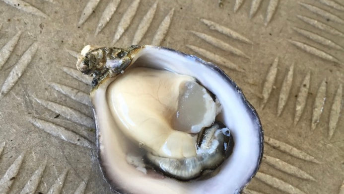Coffin Bay Oysters Townsville collection 5 Dozen Bag - $75
