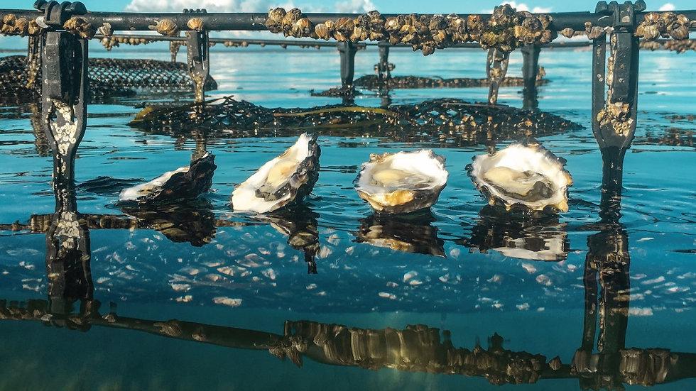 Coffin Bay Oysters Darwin collection 5 Dozen Bag - $75