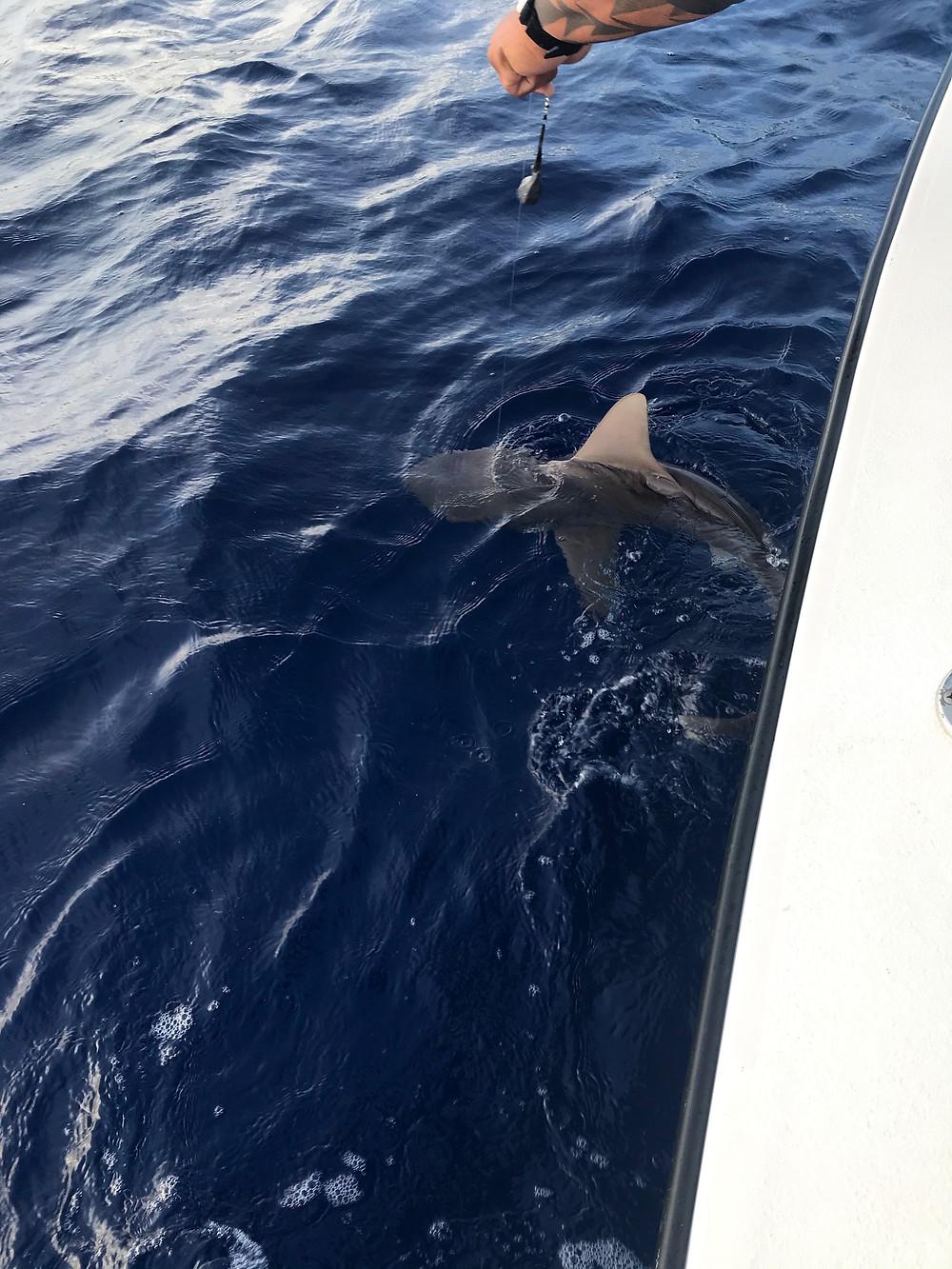 Bill Matthews Outdoors, Catching Sharks in Hawaii
