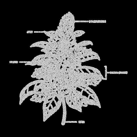 Amaranth - Texture 1 25 sm3.png