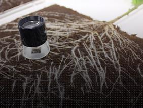Synergy: Applying Grotek's Mycorrhizae / Synergy: Aplicar las Mycorrhizae de Grotek