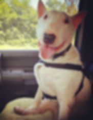 dog english bull terrier florida rescue