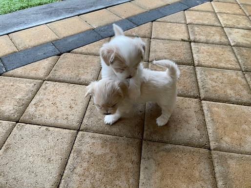 Maltese x Shih Tzu Puppies For Sale