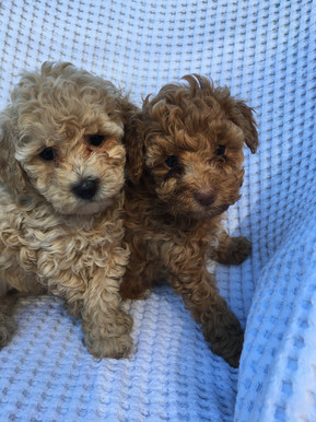 Toy Poodle Puppies For Sale NSW